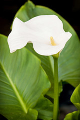 One white calla lily flower