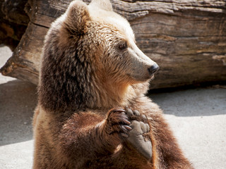 Brown bear (Ursus arctos arctos) holds his paw