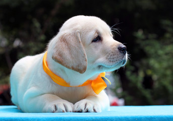 happy yellow labrador puppy on blue table
