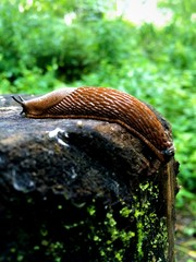 mountain slug
