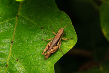 brown grasshopper perched on leaf