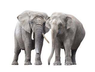 Pair of elephants isolated on white background