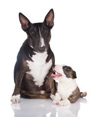 english bull terrier dog with a puppy