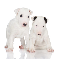 white english bull terrier puppies