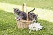 Katzenbabys im Körbchen