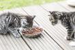 Katzenbaby beim fressen