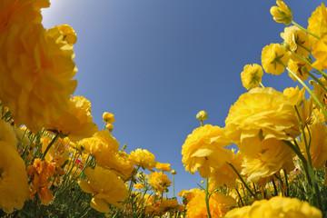 The yellow buttercups - ranunculus