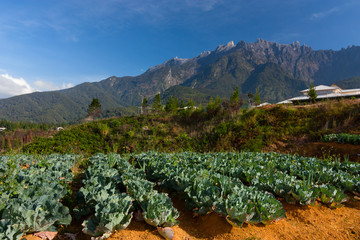 Vegetable field with Mt Kinabalu in Kundasang, Sabah, Malaysia