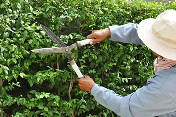 Gardener cutting hedge with grass shears