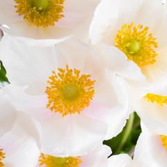Spring flowers of Anemone sylvestris (snowdrop anemone),  abstra
