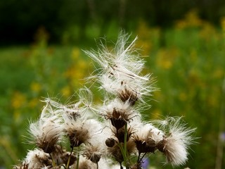 thistle with downy blow-balls on meadow