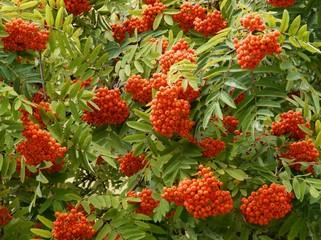 edible berries of rowan tree