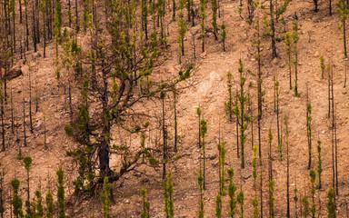 Kanarische Kiefern im Gebirge Teneriffas