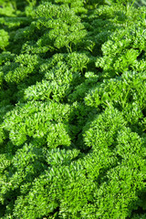 Herb of curly parsley