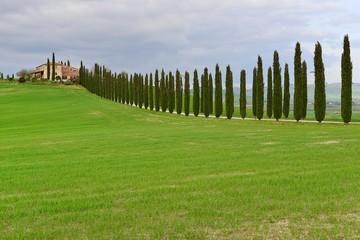 Cipressi, Toscana