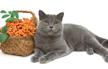 gray cat and rowan berries on a white background closeup