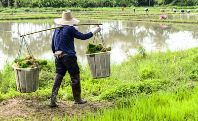 man worker at farm work carrying green rice grass