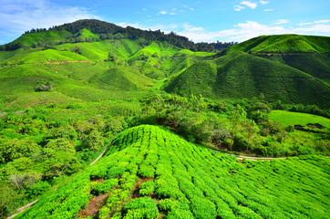 Tea Plantation Fields on Mountain