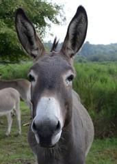 Esel in Wahner Heide
