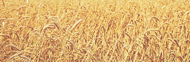 wheat field. natural background