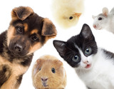 Puppy and kitten and guinea pig - 68438116