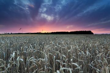 summer sunset over wheat field