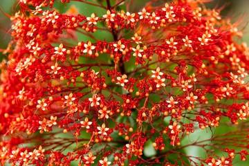Red pagoda flower closeup