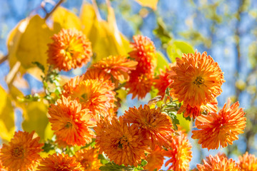 Bouquet of orange  chrysanthemums