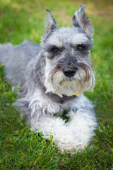 Handsome miniature Schnauzer dog in grass