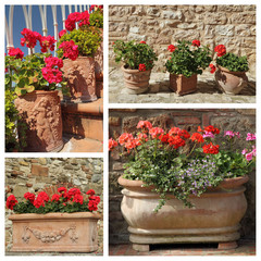 group of images with flowering geranium plants in pots
