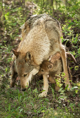 Grey Wolf (Canis lupus) and Pup