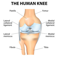Human Knee Anatomy