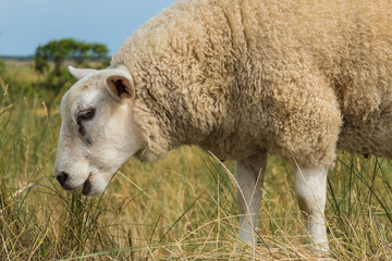 Sheep eating grass in summer close-up