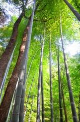 夏の竹とモミジ