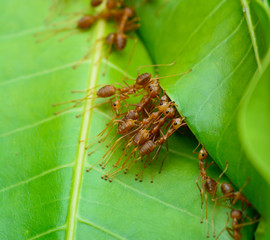top view  of red ant army are  buliding nest by use leaf