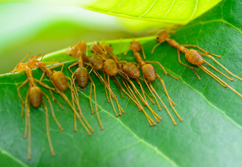 back view  of  red ant army are  buliding nest by use leaf