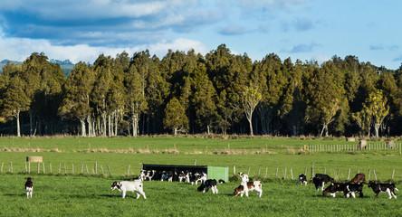 Calves Herd