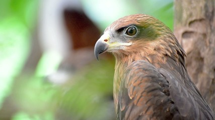Brown color Hawk