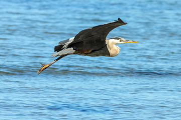 Great Blue Heron Looks For Food