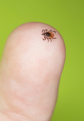 Castor bean tick, Ixodes ricinus crawling on human finger