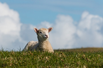 little lamb resting on spring meadow