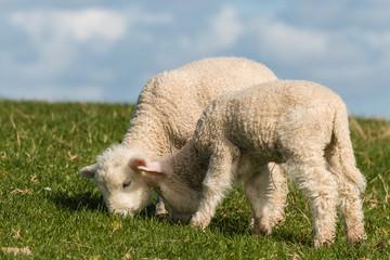 grazing newborn lambs