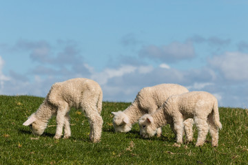 three newborn lambs grazing