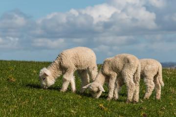 three grazing lamb