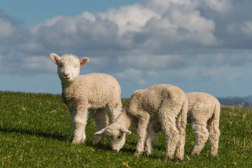 cute lambs grazing on fresh grass