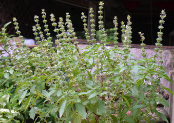 Ocimum sanctum flower on tree background