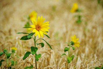 Sunflower in a wheat field on a summer sunny day