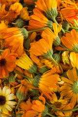Blossoms of calendulas (Calendula officinalis)