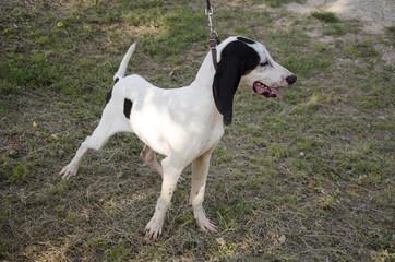 Ariegeois, cane da caccia