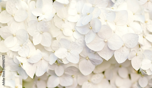 Poster Hydrangea beautiful floral background in blue colors